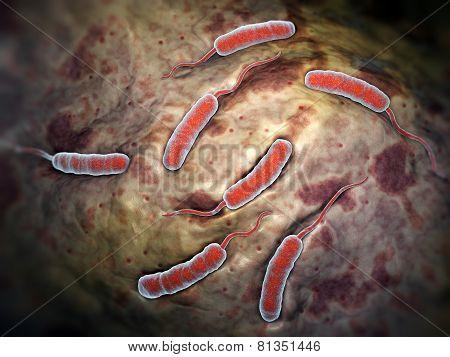 Cholerae Bacteria