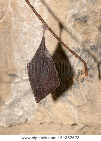 Lesser Horseshoe Bat (rhinolophus Hipposideros) Hibernation