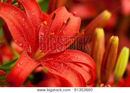 red lilly flowers with water drops closeup