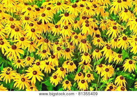 Yellow Cut Leaved Coneflower Prospers In The Bed