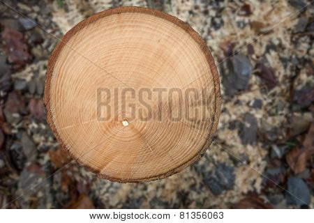 Annual rings of a small sawed-off tree trunk