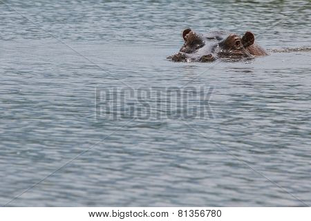 Hippopotamus In Ngorongoro Crater, Nature Reserve In Tanzania, East Africa