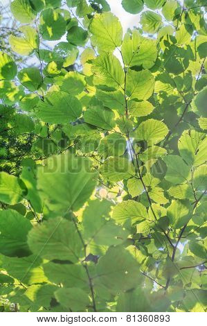 Vivid Green Leaves Background Of Common Hazel