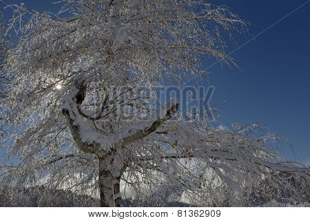 Tree with snow backlit