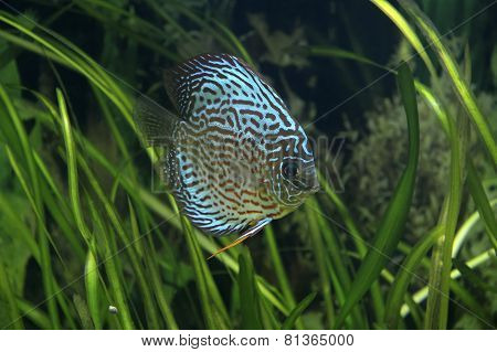 Discus - tropical fish
