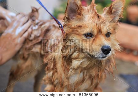 Pomeranian Take A Shower