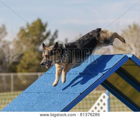 Corgi doing agility