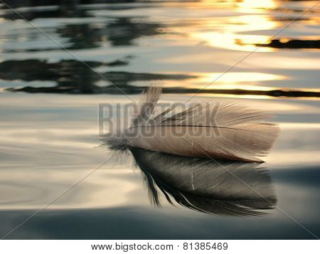 bird feather on the water