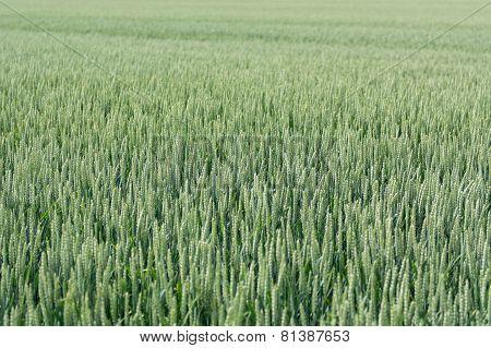 Rye, Secale Cereale Flowering