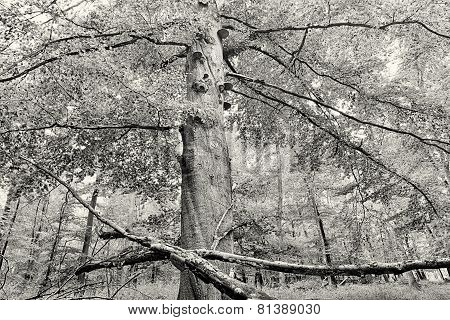 Hdr Shoot Of A Beech Forest In Autumn, Vintage Version