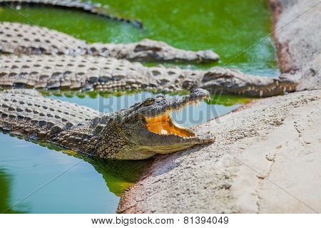 Crocodiles in a farm