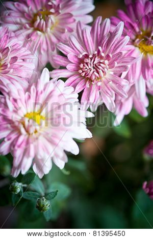 pink flowers of aster closeup