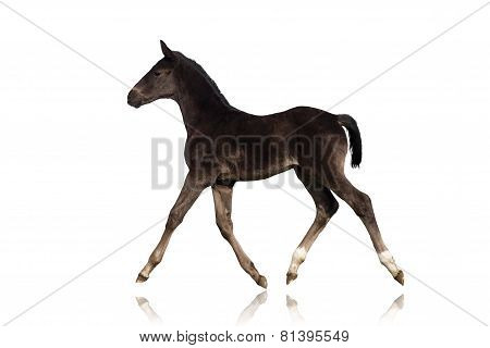 Black foal isolated on white