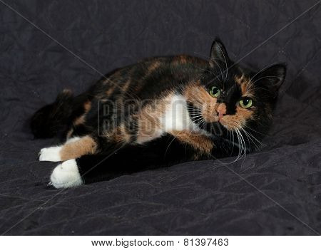 Tricolor Cat Lies On Quilted Blanket