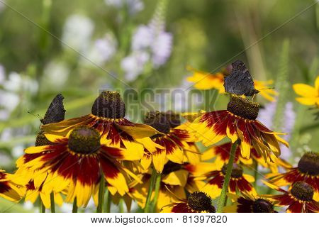 Rudbeckia Flowers And Butterfly Drinking Nectar From Orange Petals