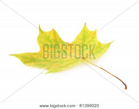 Green autumn maple leaf isolated
