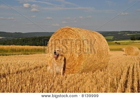 Golden Retriever and Straw Rolls
