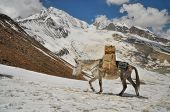 picture of mule  - Mule loaded with supplies in high altitudes of Himalayas mountains in Nepal - JPG
