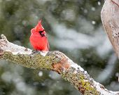 pic of cardinal  - Male Cardinal perched on snow covered branch in snowstorm - JPG