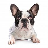 stock photo of french bulldog puppy  - French bulldog isolated on white background - JPG