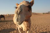image of desert animal  - A camel looking directly at the viewer - JPG