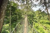 picture of canopy  - Canopy walkway in Kakum National Park Accra Region Ghana West Africa - JPG