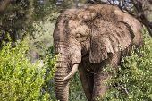 image of sub-saharan  - Huge African elephant bull in the Tarangire National Park Tanzania - JPG