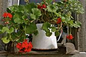 pic of log cabin  - Geraniums in an old old white coffee pot are perched on the ledge of a log cabin - JPG