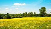 foto of buttercup  - Buttercups field in its colors in midsummer - JPG