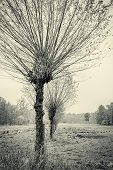 pic of row trees  - willow trees in a row in autumnvintage version - JPG