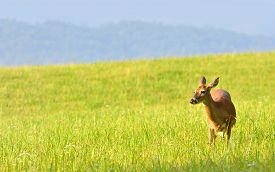 image of cade  - Deer grazing on lush grass in the valley of Cades Cove in the Great Smoky Mountains National Park - JPG