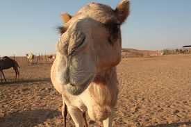 stock photo of sahara desert  - A camel looking directly at the viewer - JPG