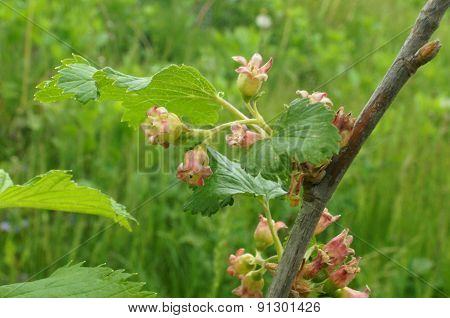 Flowers Of Red Currant