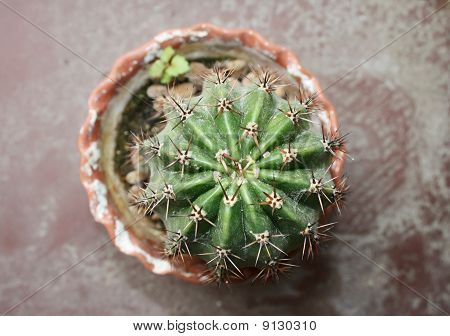 Ehinopsis Cactus (Echinopsis)