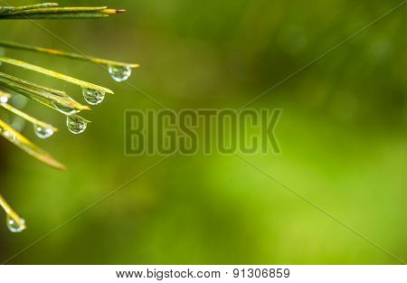 Dewdrops On Cedar