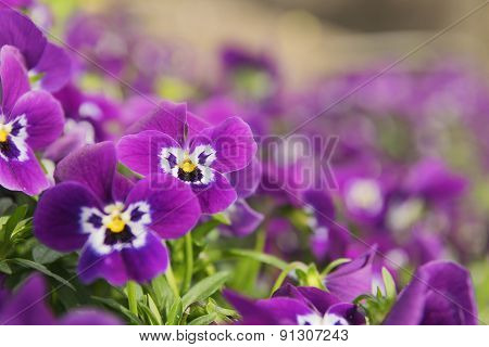 Ansies In Flower Bed