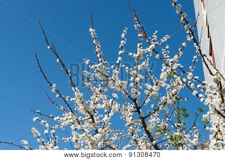 The Blossoming Cherry Branches Against The Sky