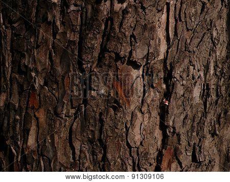 horse chestnut tree bark