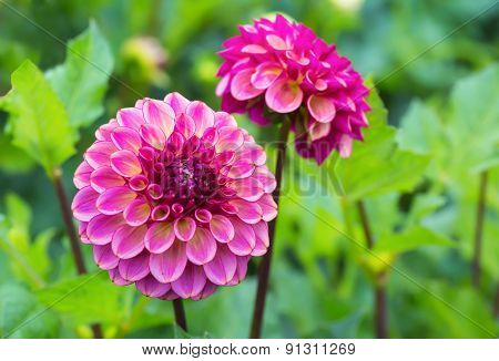 Dramatic dark pink dahlias in the summer garden.
