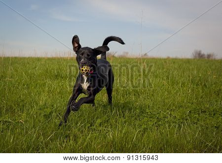 Black dog running with yellow ball