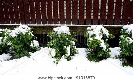 Plant Fence And Snow On Snowy Day