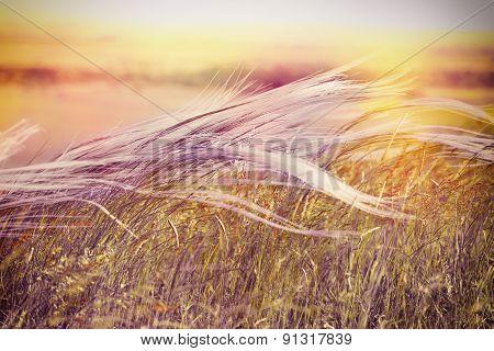 Beautiful nature - Silky grass ( fluffy grass)