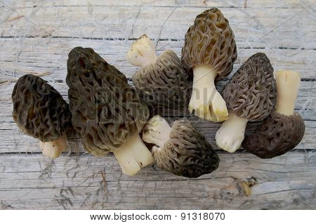 Wild Morels Just Picked