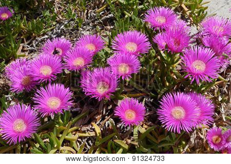 Wild ice or hottentot plants