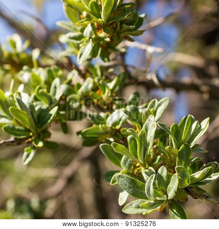 Young leaves of sea buckthorn
