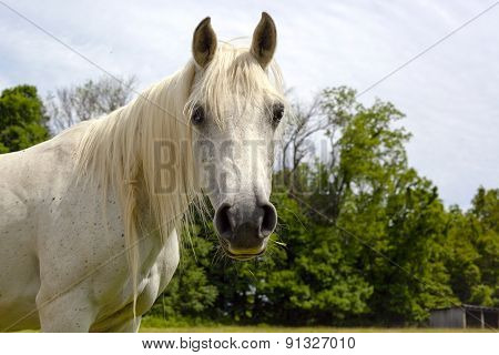 White Arabian horse looking at viewer