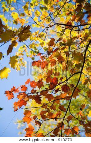 Fall Foliage And Blue Sky