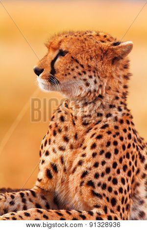 Male Cheetah In Masai Mara