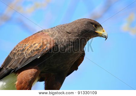 Golden Eagle Reading To Attack