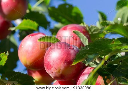 Big Red Plums On Tree